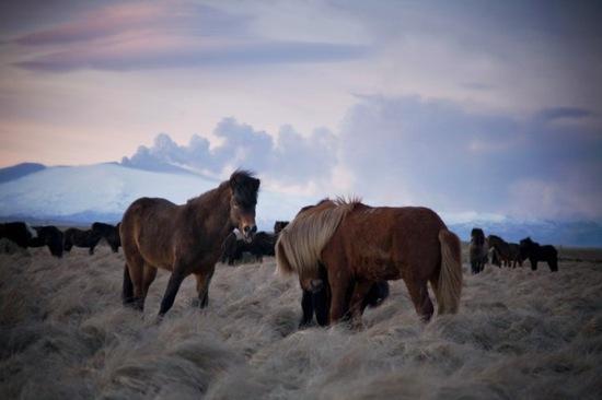 iceland-horses-volcano.jpg